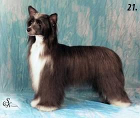китайская хохлатая собака пуховая