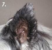 Уход за китайской собакой пуховкой